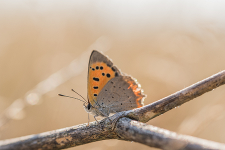 lycaenidae: Butterfly common copper (Lycaena phlaeas) on a dry twig early morning