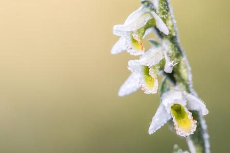 Detail on flower Small white orchid Spiranthes spiralis, commonly known as autumn ladys-tresses