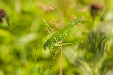 Great Green Bush-Cricket balances of a top of blades