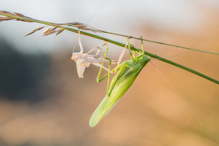 Great Green Bush-Cricket shed skin (Ecdysis) early morning Stock Photo