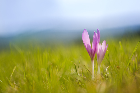 Autumn crocus (Colchicum autumnale) on a mountain meadow in backlight
