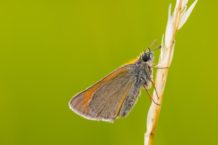 Small skipper (Thymelicus sylvestris) on grass stalks with green background