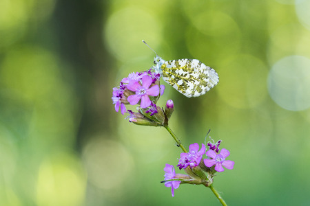 Orange tip (Anthocharis cardamines) resting on Sticky catchfly (Silene viscaria) in the forest