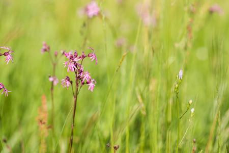 Ragged-Robin (Lychnis flos-cuculi) on a spring meadow on a sunny day