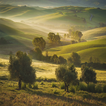 Tuscan olive trees and fields in the area of Siena, Italy photo