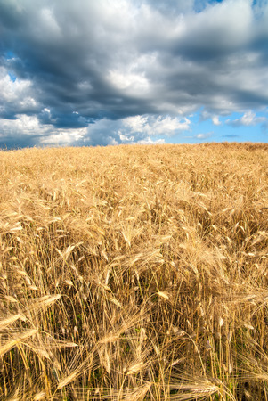 enraged: Golden fields of grain on a stormy day with enraged clouds Stock Photo