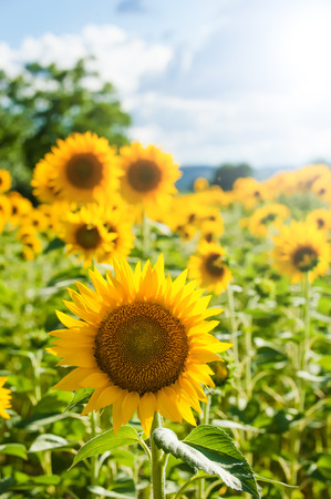 Yellow sunflowers on a blue sky background in Tuscany, Italy photo