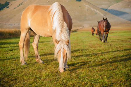 Horses by eating food at the foot of the mountains in the Monte Sibillini National Park, Umbria photo