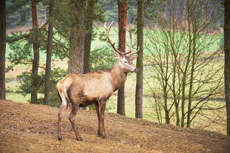 venado cola blanca: Potente adulto macho de los ciervos rojos en el ambiente natural de los bosques de otoño caen.