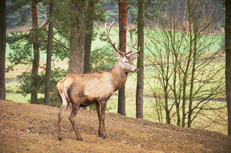 deer buck: Powerful adult red deer stag in natural environment autumn fall forest.
