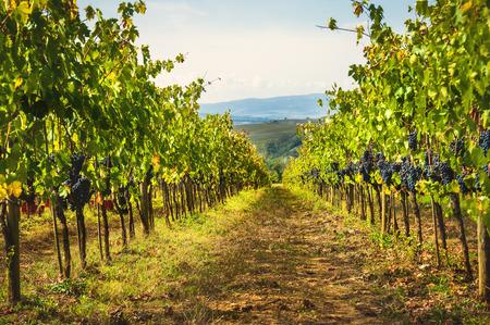 토스카나, 이탈리아의 가을 포도 수확