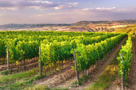 vineyard at sunset: Beautiful vineyards on the hills of the peaceful Tuscany, Italy