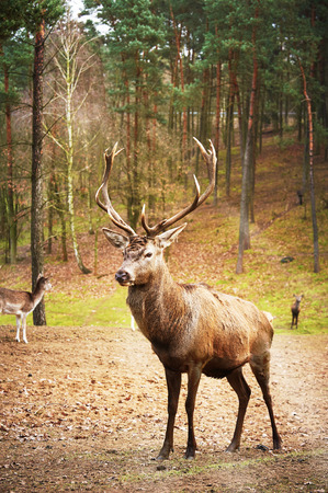 Powerful adult red deer stag in natural environment autumn fall forest.
