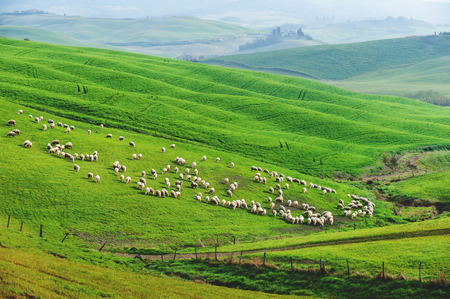 Sheep on the green spring field in the morning Archivio Fotografico
