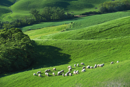 Tuscan sheep on a green spring field next to the wood