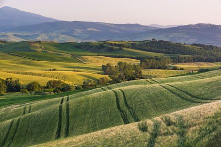 maturing: Green maturing cereals fields of Tuscany Stock Photo