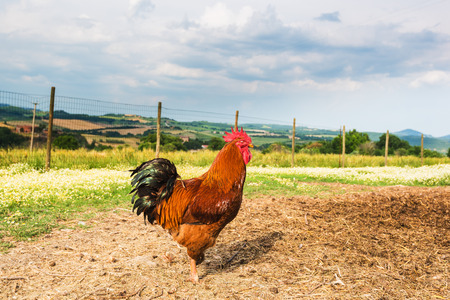 gallo: Beautifully colored rooster grazing on the meadow
