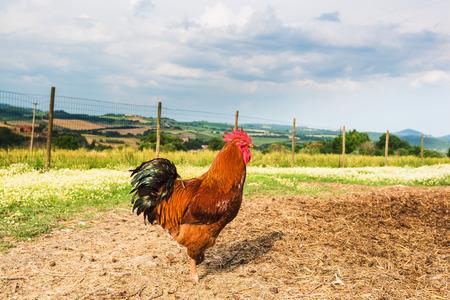 gallo: Pastoreo de bellos colores gallo en el prado