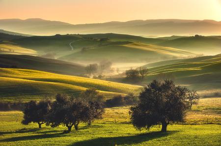 olivo arbol: Campos de la Toscana y olivos en la salida del sol en una niebla mística