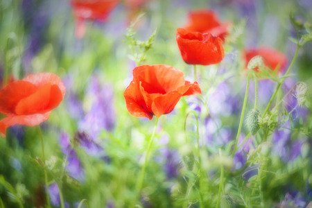 dominant color: Full color meadow with dominant red color blured flowers.