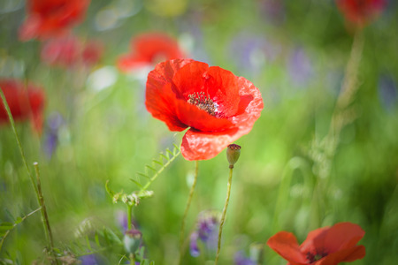 dominant: Full color meadow with dominant red color of poppies. Stock Photo