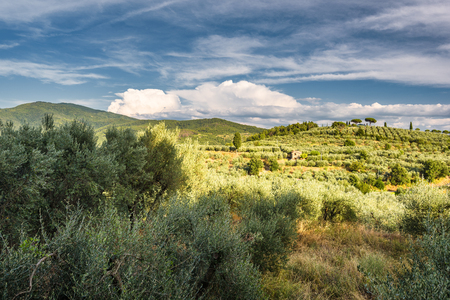 olive trees hill with fantastic landscape