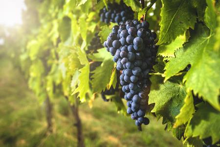 sensational: Grape harvest at the world famous and sensational taste of wine grapes sangiovese.