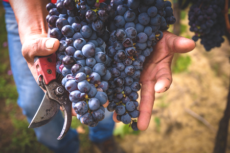 summer fruits: Cut grapes from Tuscan fields on the hands farmer. Stock Photo