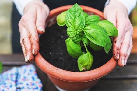 Planting green basil in the garden on a wooden table