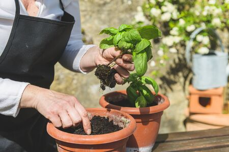 Planting green basil in the garden on a wooden table Banque d'images