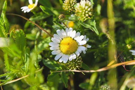 White daisies hidden in greenery