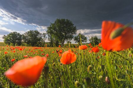 Stormy weather over poppies and fields of green Banque d'images