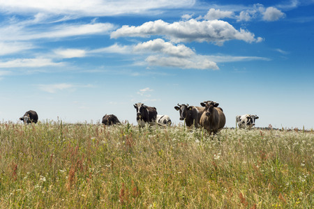 upcoming: Upcoming herd of cows on grass field