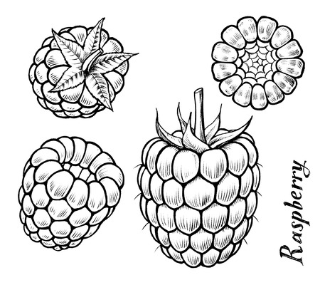 ink drawing: Raspberry different angles ink drawing illustration set Stock Photo