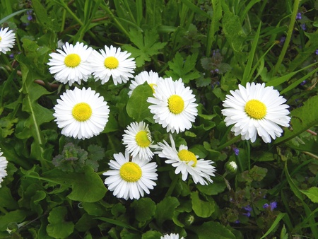 marguerites: White marguerites flower Stock Photo