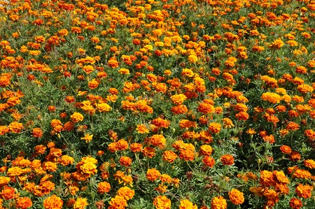 flowerbed: Flowerbed with marigold. Stock Photo