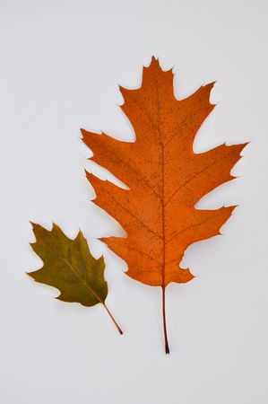 yellowing: Yellowing leaves of oak.