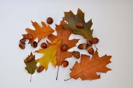 Acorns and oak leaves. photo