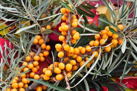 buckthorn: The berries of sea buckthorn. Stock Photo