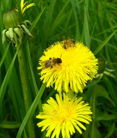 Bees on yellow dandelion flowers.