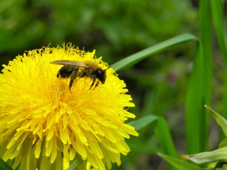 The bee collects honey on a dandelion flower.