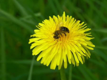 A bee on a dandelion flower.