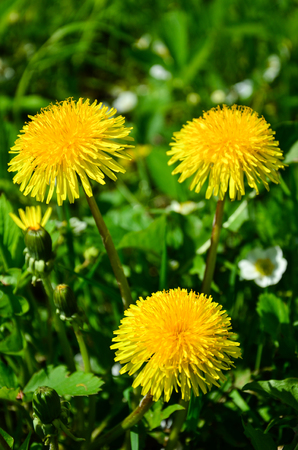 Dandelions in the green grass.
