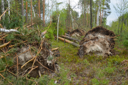 Large pines and birches lie on the ground. Stock Photo