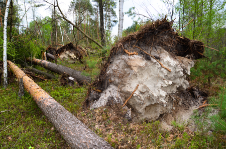Large pine trees are piled with a strong wind, and virvans from the earth. Stock Photo
