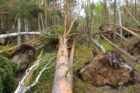 During a strong wind, pine and birch trees were torn out.