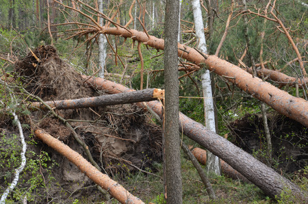 During a strong wind, there were broken pines and birches. Stock Photo