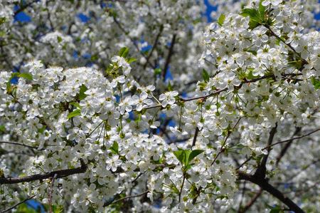 The cherry tree blooms with white flowers stock photo picture and stock photo the cherry tree blooms with white flowers mightylinksfo