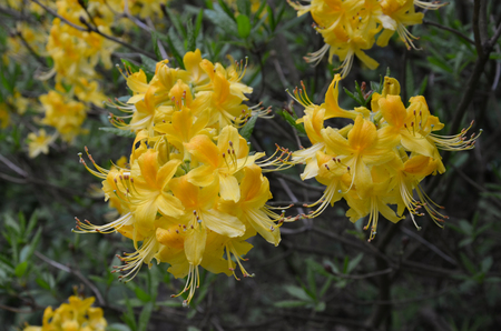 A cluster of azalea with yellow flowers perennial shrub stock a cluster of azalea with yellow flowers perennial shrub stock photo 105197085 mightylinksfo