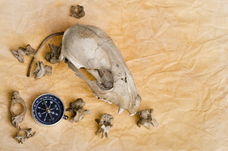 Compass with skull raccoon. Discovery  background